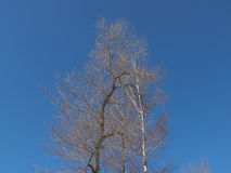 Descubra a coroa ramificada da árvore no fundo do céu azul profundo Fotografia de Stock
