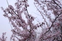 Descubrimiento de China: flor de cerezo en la pagoda salvaje grande del ganso Imagen de archivo