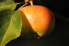 Descubrimiento hermoso Apple Imagenes de archivo