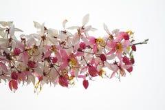 Desejando a árvore, pique Showe, Cassia Bakeriana Craib Imagem de Stock Royalty Free