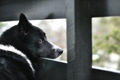 Desejando do cão para a liberdade Foto de Stock Royalty Free