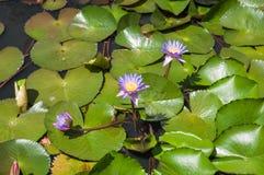 Desejando a lagoa do lírio de água azul Imagens de Stock