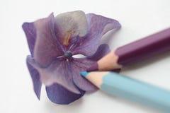 Desenhando um hydrangea roxo Imagens de Stock Royalty Free