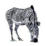 Desenho da aguarela da zebra foto de stock royalty free