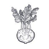 Desenho da mão da couve-rábano vegetal da couve Fotos de Stock Royalty Free