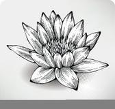 Desenho da mão do lírio de água branca ilustração stock