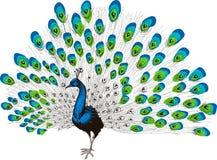 Desenho da mão do pavão Foto de Stock Royalty Free