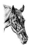 Desenho de lápis a mão livre da cabeça de cavalo Fotos de Stock Royalty Free
