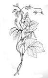Desenho do feijão da soja Fotos de Stock