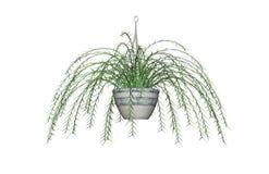 Desenho do fern de espargos Ilustração do Vetor