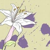 Desenho do lírio Foto de Stock