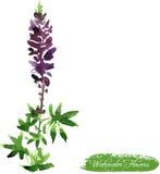Desenho do Lupine pela aquarela Foto de Stock