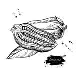 Desenho do vetor da porca e da semente do sésamo Entregue o ingrediente de alimento desenhado Imagem de Stock Royalty Free