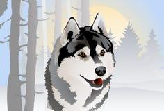 Desenho do vetor do cão de puxar trenós Siberian da raça do cão na floresta do inverno Imagens de Stock Royalty Free