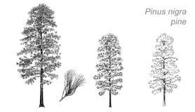 Desenho do vetor do pinho (Pinus Nigra) Imagem de Stock