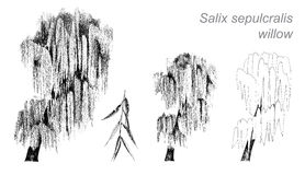 Desenho do vetor do salgueiro (sepulcralis do Salix) Foto de Stock Royalty Free