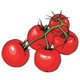 Desenho do vetor do tomate Tomates isolados no ramo Ilustração vegetal do estilo artístico Alimento detalhado do vegetariano Imagens de Stock