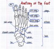 Desenho dos ossos de pé humano Imagens de Stock Royalty Free