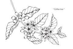 Desenho e esboço da árvore de café Fotos de Stock Royalty Free
