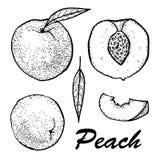 Desenho manual da tinta do pêssego Pêssego e fatias inteiros ajustados Ilustração botânica do alimento Ilustração do vetor com es Imagem de Stock