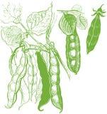 Desenho vegetal do vintage das ervilhas Fotografia de Stock Royalty Free