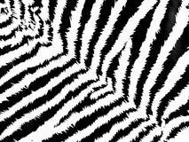 deseniowa zebra Obrazy Stock