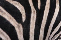 deseniowa zebra Zdjęcie Royalty Free