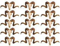 Deseniowej tekstury czaszki zwierzęcy baran z fryzującymi rogami kilka rzędy wizerunki puści na bielu Zdjęcia Royalty Free