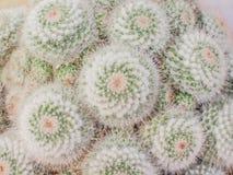 Deseniuje naturę kolorowi kwiaty biali z zieleni i menchii koloru kaktusowym kwitnieniem, odgórnego widoku ornamentacyjnych rośli zdjęcia royalty free