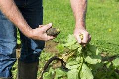 Desenterrar el rábano negro fresco del jardinero en el jardín Foto de archivo libre de regalías