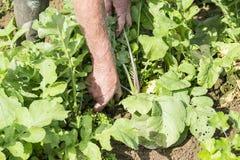 Desenterrar el rábano negro fresco del jardinero en el jardín Imagen de archivo
