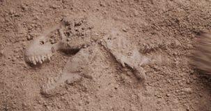 Desenterrar fósiles de dinosaurio almacen de video