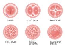 Desenvolvimento fertilizado do ovo ilustração do vetor