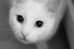 Deseo en los ojos de gatos blancos fotos de archivo