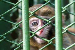 Deseo vivo enjaulado del mono para la libertad Fotos de archivo libres de regalías