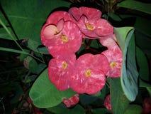 Deser róży roślina Zdjęcia Stock