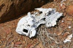 Deserowa czaszka Zdjęcia Stock