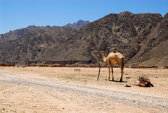 Desert. Young African camel is standing in desert royalty free stock image