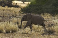 Desert Adapted Elephant Calf Royalty Free Stock Images