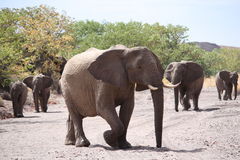 Desert Adapted Elephant Family Royalty Free Stock Photos