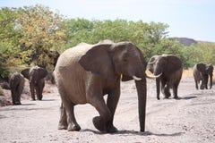 Desert Adapted Elephant Family. Damaraland, Nambia, Africa - female group royalty free stock photos