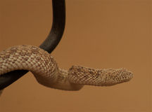 Desert adder or sidewinder Stock Photography