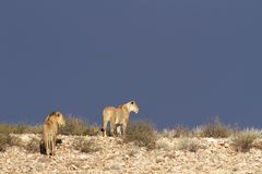 Desert African lions Royalty Free Stock Photo