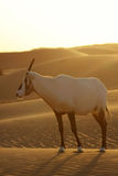 Desert antelope Royalty Free Stock Photography