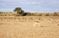 Desert antelope Stock Photo