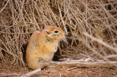 Desert beaver. Stock Photography