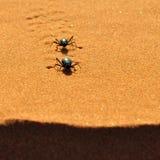 Desert beetle. Darkling Beetle on the sand Stock Photography