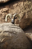 Desert Big Horn Hheep Royalty Free Stock Image