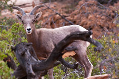 Desert Big Horn Lamb Sheep Royalty Free Stock Images