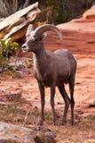 Desert Big Horn Ram Stock Photos